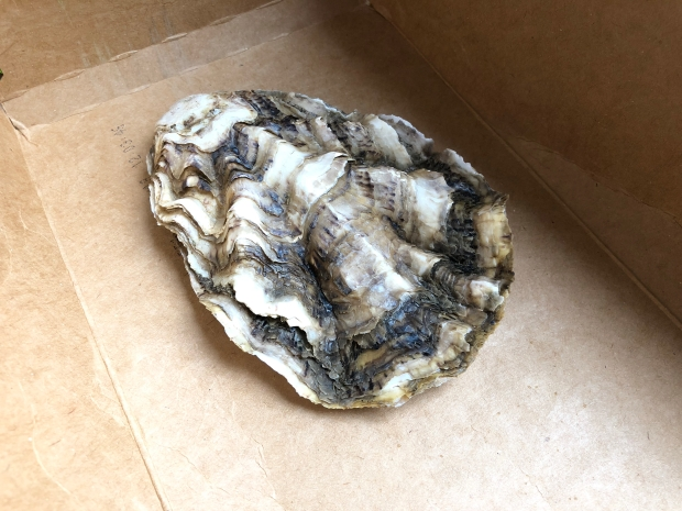 oyster shell in cardboard box